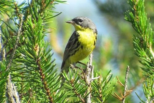Kirtland's Warbler