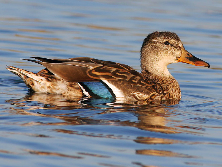 The Mystery Of The Diving Emerald Hooded Quackaneer