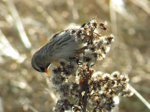 Common Redpoll2