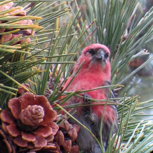 Male WW Crossbill