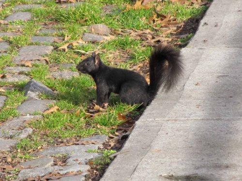 NYC Black Squirrel