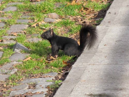 NYC Black Squirrel