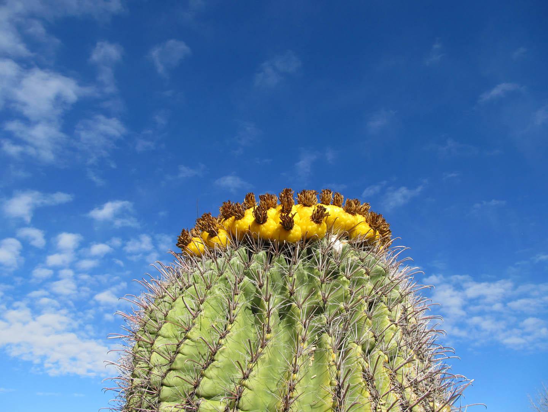 Fruiting cactus