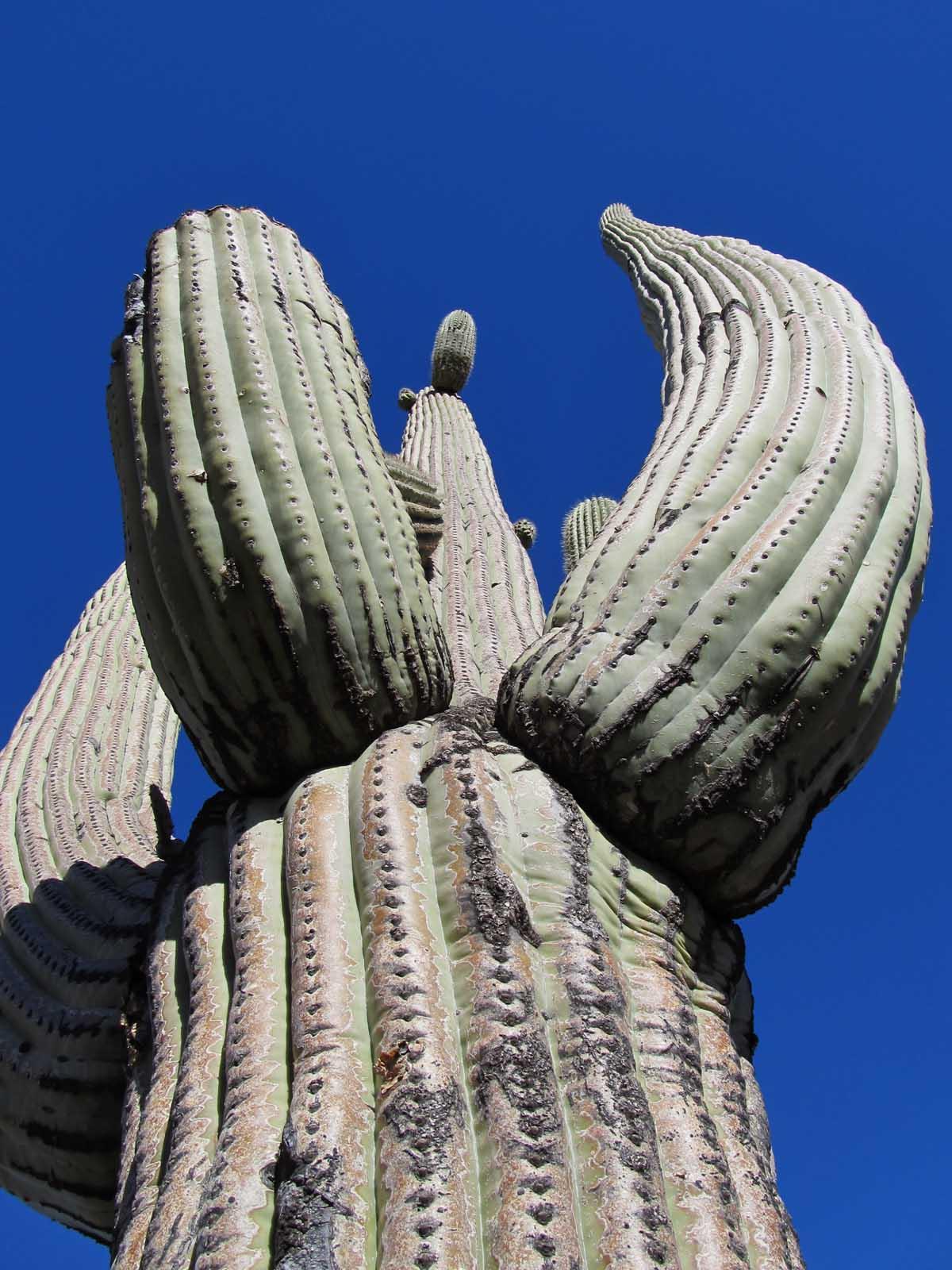 Large Saguaro