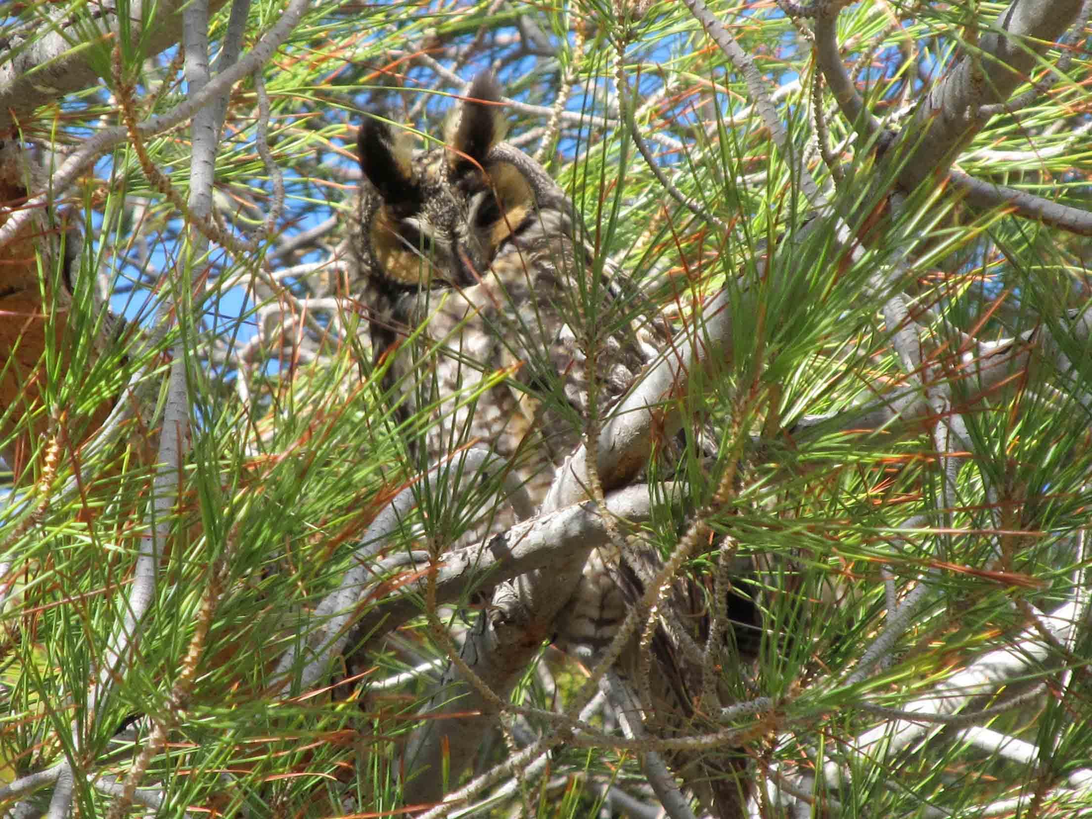 Longeared Owl2