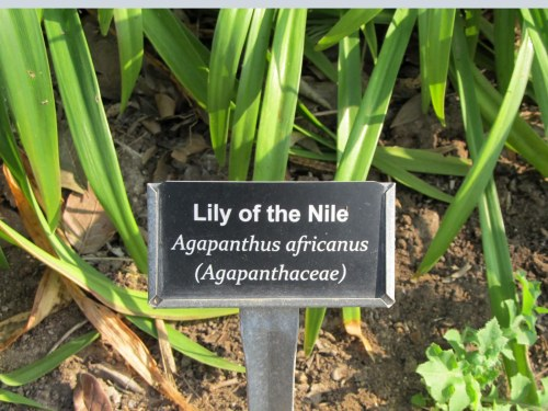 Agapanthus sign