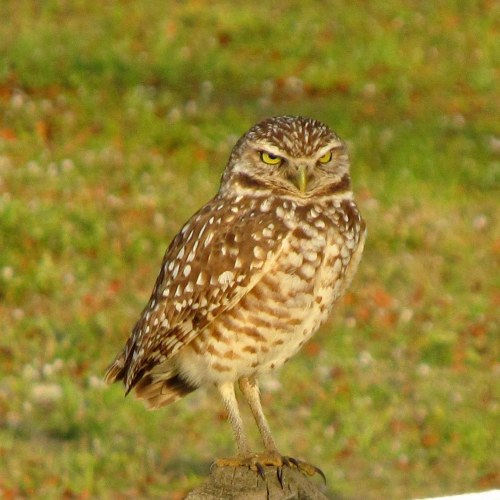 Burrowing Owl Cape Coral