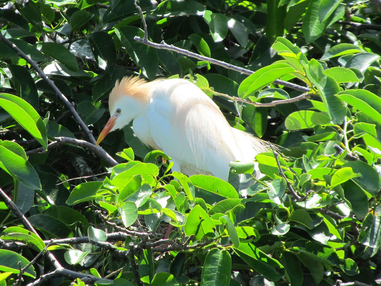 Cattle Egret nest