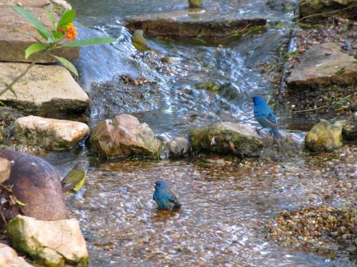 Indigo Buntings Join