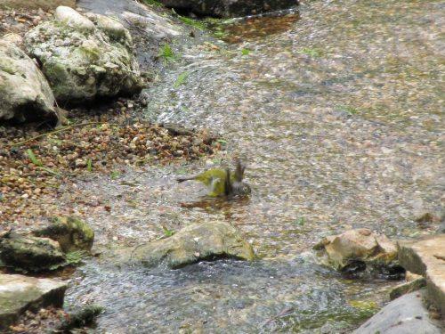 Nashville Warbler bathing