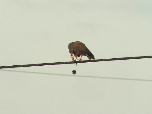 Snail Kite drops shell