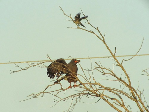 Snail Kite Harassed by Mocker