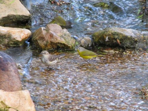 Warblers in the water