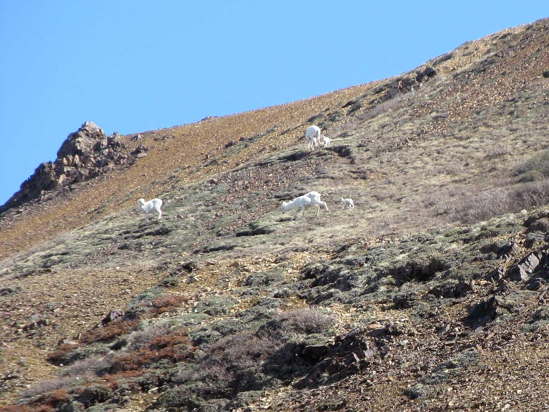 Dalls sheep