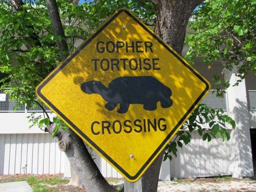 Gopher Tortoise Crossing