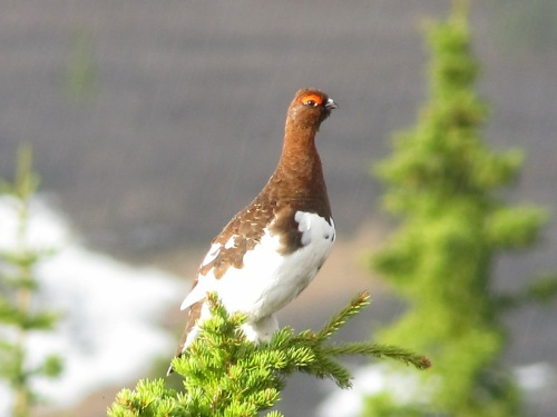 Willow Ptarmigan in the rain