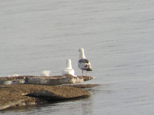 2nd Summer Slatybacked Gull