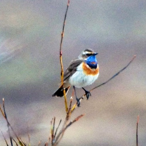 Bluethroat by Neil Hayward