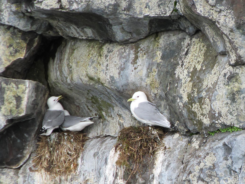 Kittiwakes nesting