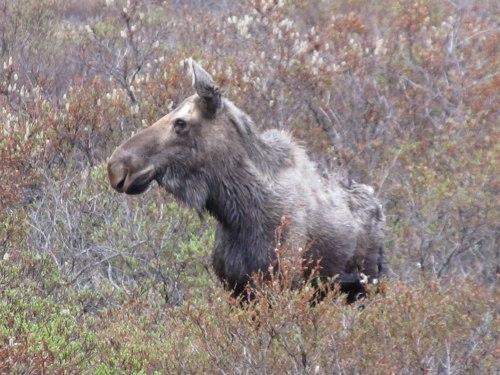Nome Moose