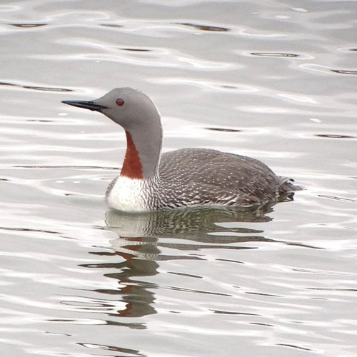 Red-throated Loon by Neil Hayward
