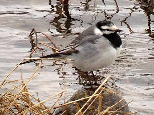 White Wagtail by Neil Hayward