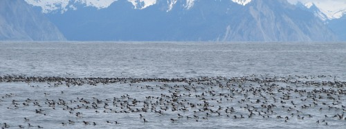 Whole Lotta Murres