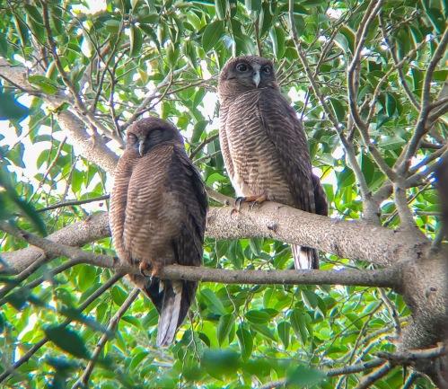Rufous Owls2
